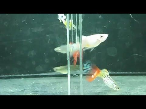 Guppy random breeding (Vs. Selective breeding)