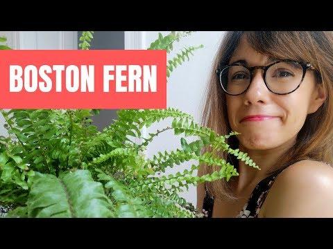 boston-fern-care---nephrolepis-exaltata-care