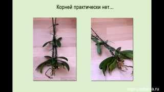 Детки орхидеи фаленопсис на цветоносах(, 2014-07-15T07:14:22.000Z)
