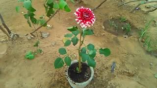 dahliya plant grow &care tips december 2016