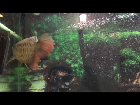 Cross back gold Arowana