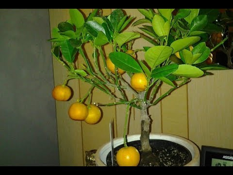 Мандариновое дерево в домашних условиях из косточки 2. Mandarin tree 2