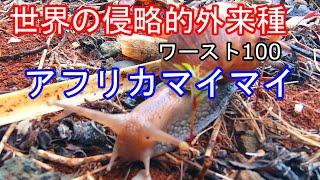 【超危険】アフリカマイマイの正体(侵略的外来種) 広東住血線虫 検索動画 18