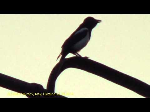 Птицы Украины: Сорока в Центре Киева 12.09.2014