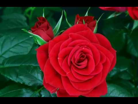 89 Model Gambar Al Quran Dan Bunga Mawar Paling Keren