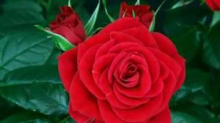 bunga ros bunga mawar