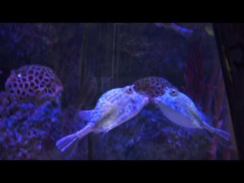 Scrawled Cowfish At Via Aquarium