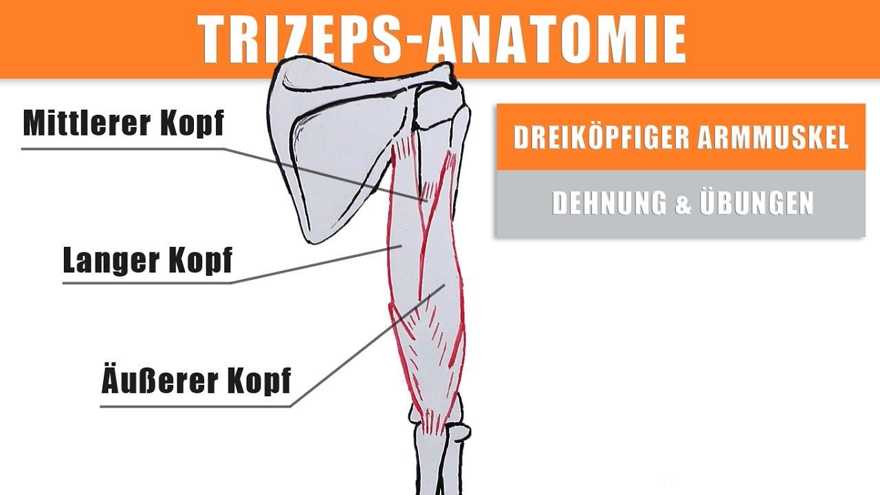 Anatomie Trizeps – langen Trizepskopf trainieren – Trizeps Dehnen ...