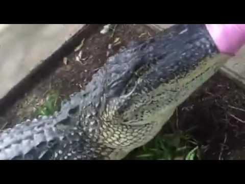 Alligator wrangled from front seat of SUV   FOX 26 News Houston   KRIV