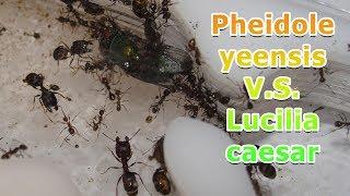 Командная работа муравьёв против мух