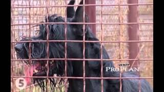 Ризеншнауцер – все о породе собаки – Purina Pro Plan Ukraine