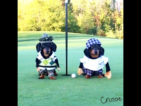 Crusoe the Dachshund Goes Golfing with His Brother Oakley!