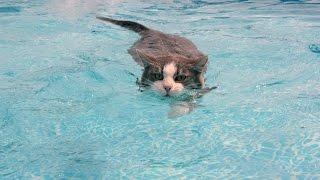 Кот пловец)