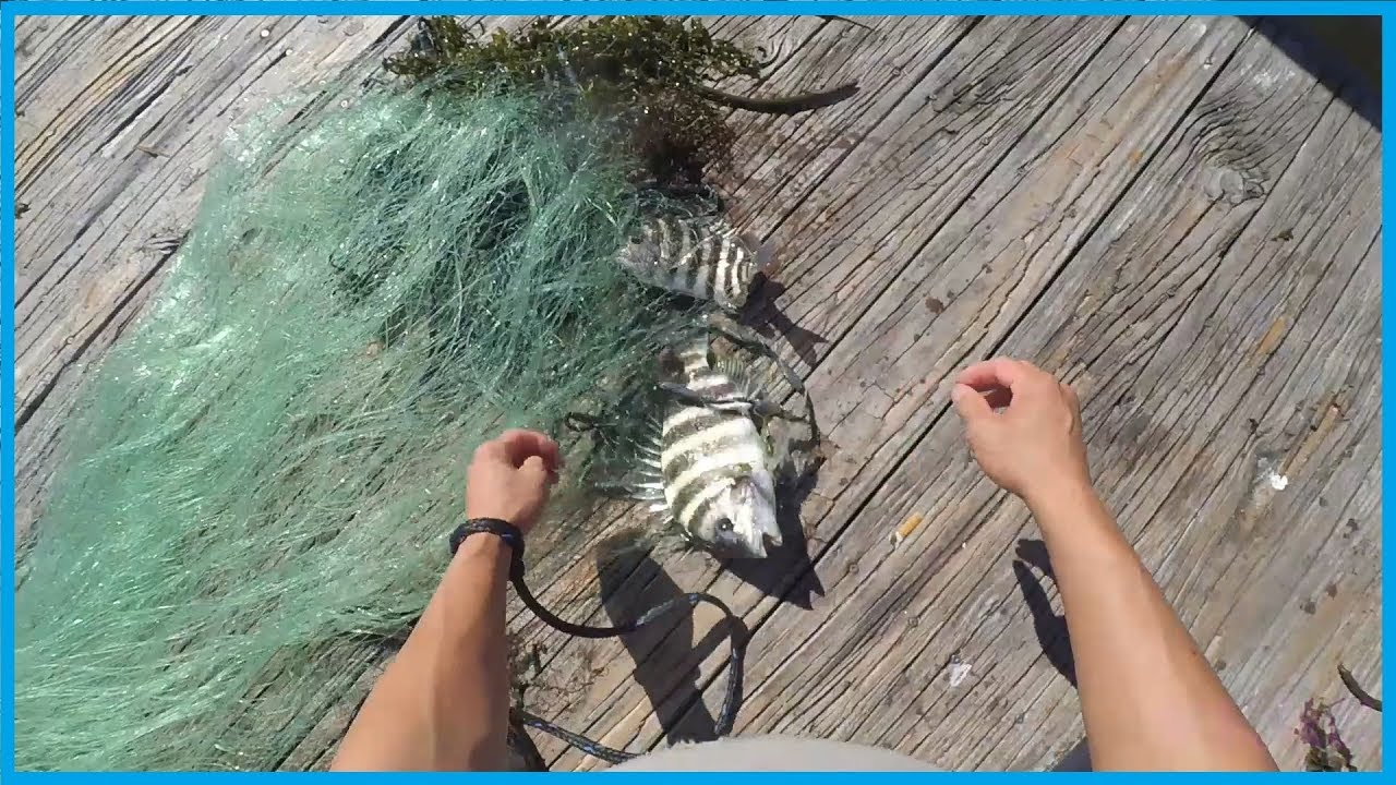 Fishing using castnet to catch sheephead jailed fishes