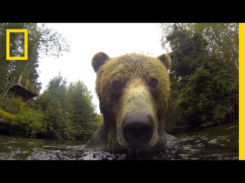 Watch What a Grizzly Does with a Floating Camera | National Geographic