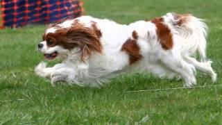 Lure Coursing With Cavaliers