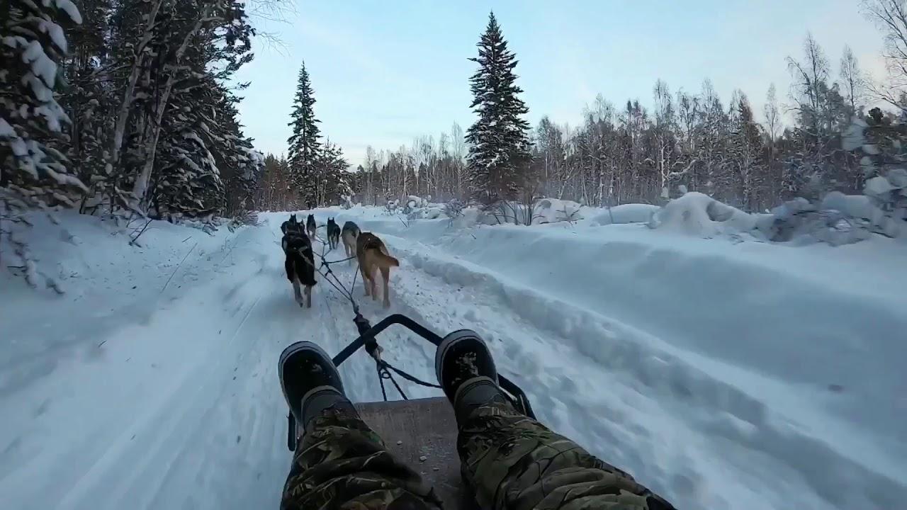 Siberian Husky Dog Sled Trip On Lake Baikal In Siberia Listvyanka