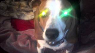 Rascal The Fat Beagle. With Wild Glowing Eyes