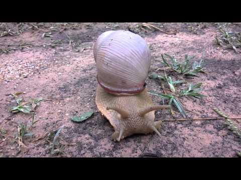 Registro impar do Aruá-do-mato no Parque Estadual Serra do Sobrado - PESS.