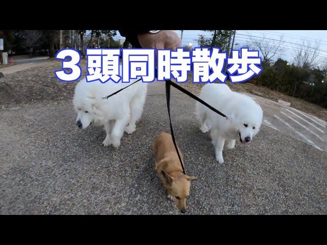 3頭をつれての散歩は体力が必要!