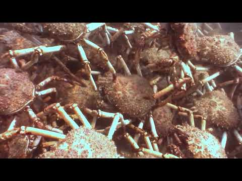 Spider Crab Migration