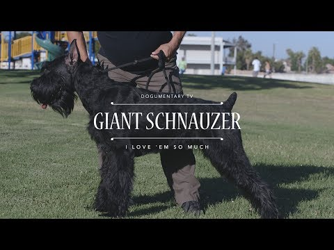 GIANT SCHNAUZER I LOVE 'EM SO MUCH