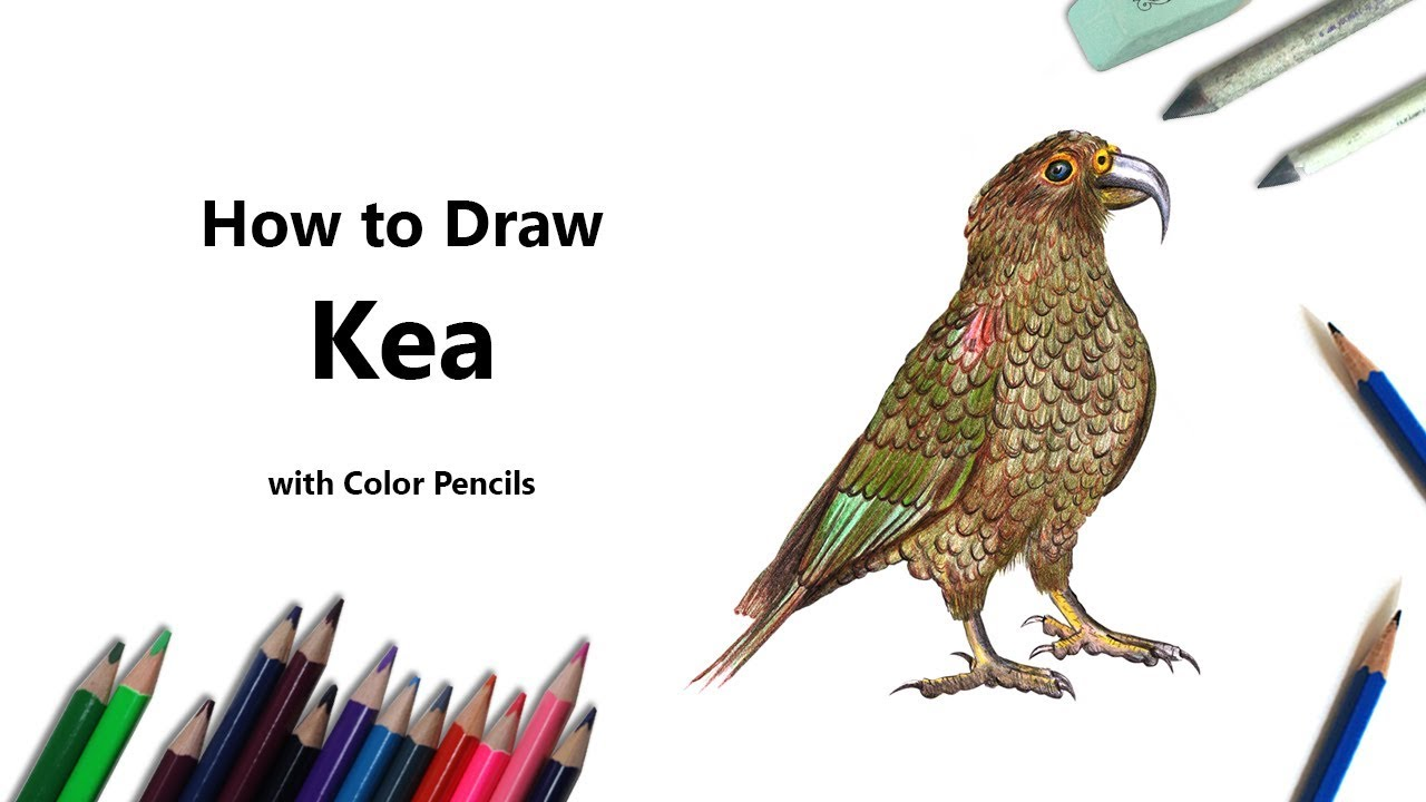 Coloring book kea - How To Draw A Kea With Color Pencils Time Lapse