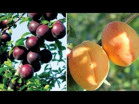 Необычные сорта зимостойких абрикосов: Черный бархат, Персиковый, Ананасный