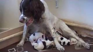 English Springer Spaniel Mother & Newborn Puppies
