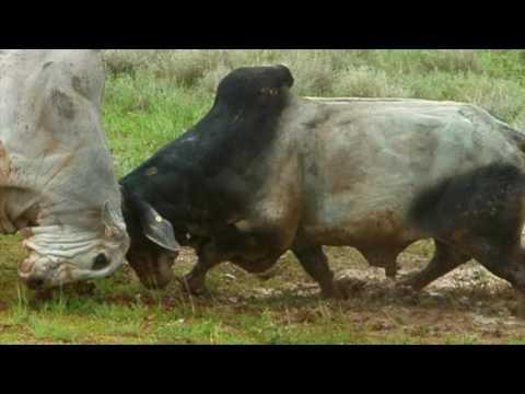 Bulls Fighting NT Australia