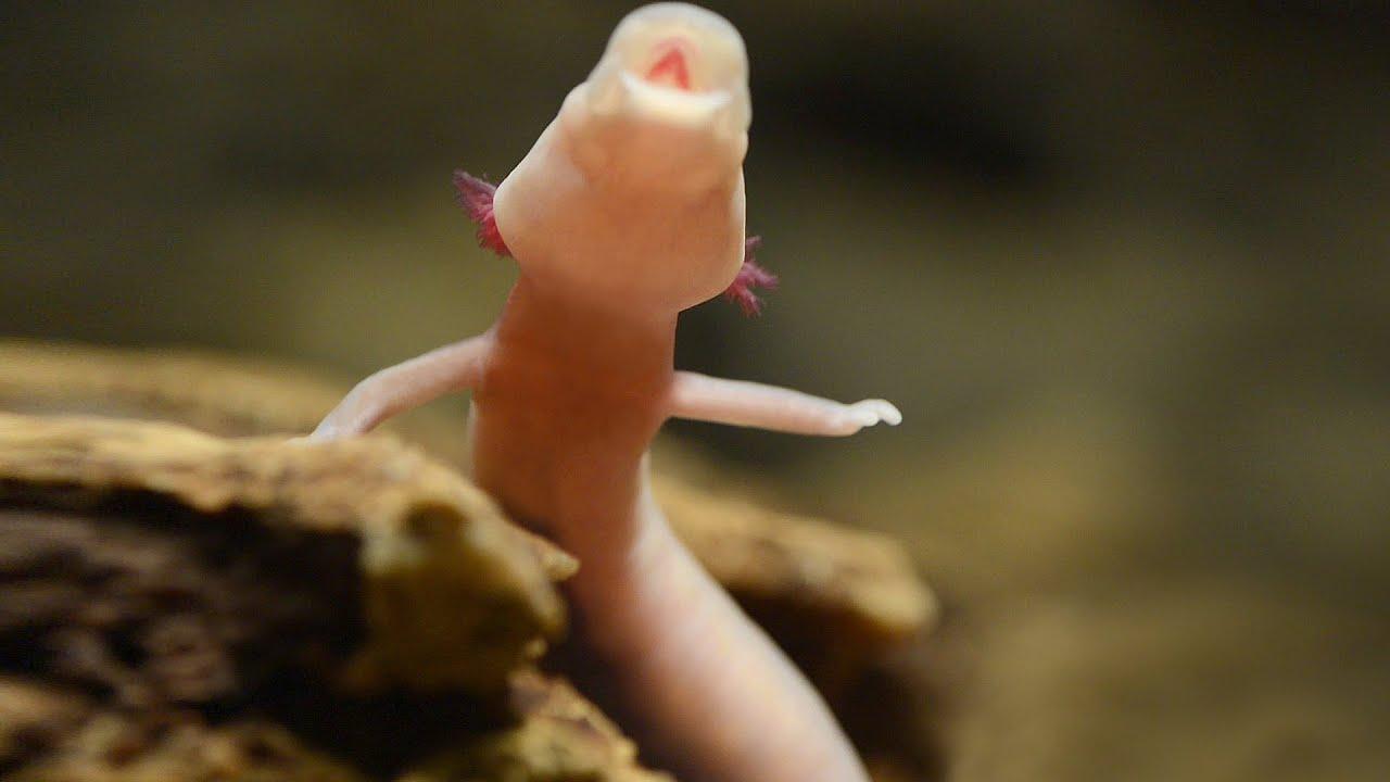 Baby Dragons in Postojna Cave