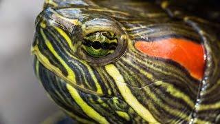 Содержание и уход за красноухой черепахой