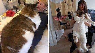 Download Самые большие кошки в мире! Настоящие коты гиганты... Mp3 and Videos