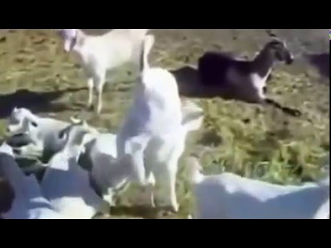 Funny Animals  Parrots Cat Goat