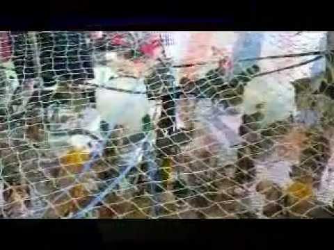 kỉ thuật nuôi chim trĩ - 0908478943 - YouTube.flv