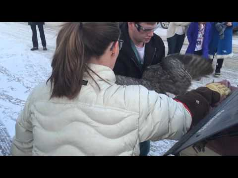 University of Saskatchewan vets release Great Horned Owl