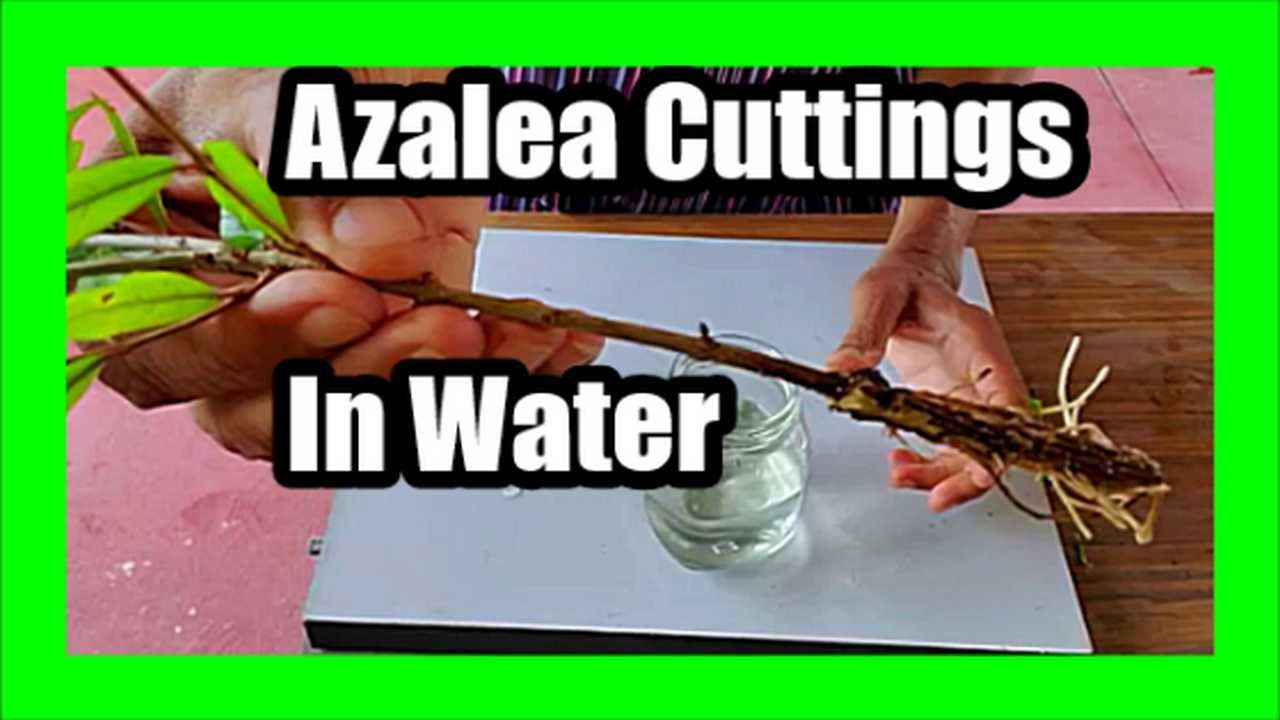 Download How to Propagate Azaleas From Cuttings in Water: Grow Azalea Cuttings In Water