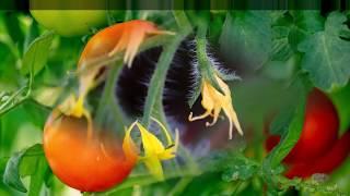 Как опылять томаты и огурцы вручную?