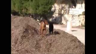 Dogs Playing On Beach Oasis - French Riviera - Rhodesian Ridgeback Zola & Friends