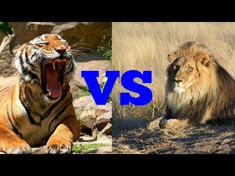 Лев против тигра. Lion against tiger. Животные. Батл животных.