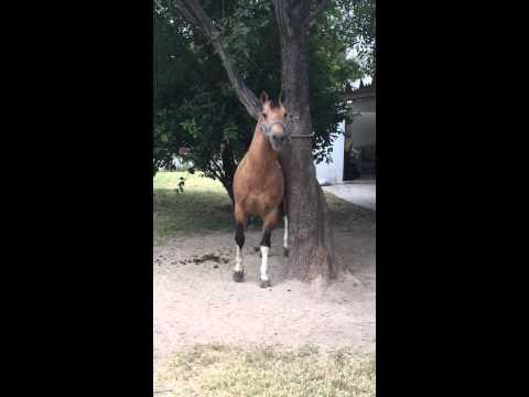 Relincho del caballo capricho