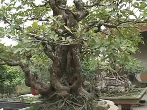 Video triển lãm cây cảnh thanh hóa (phần 1)