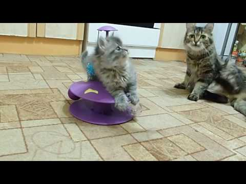 Котята порода Сибирская кошка. 1 месяц 12 дней.