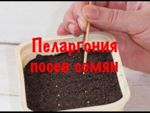 как фото выглядит пеларгонии семена