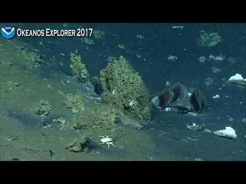Okeanos Explorer Video Bite: Exploring a Biodiverse Seafloor