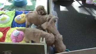 Golden Retriever Puppies - Getting Outside First Time