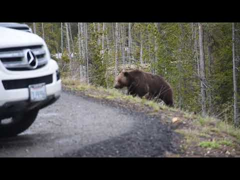 Grizzly bear and cubs - yellowstone