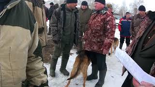 Жердевская выставка охтничьих собак Ср гр выжлецы