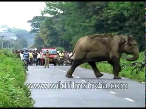 Elephant-human conflict: Wild Tusker enters habitation in Jalpaiguri