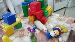 Декоративная крыса дамбо  милый маленький друг